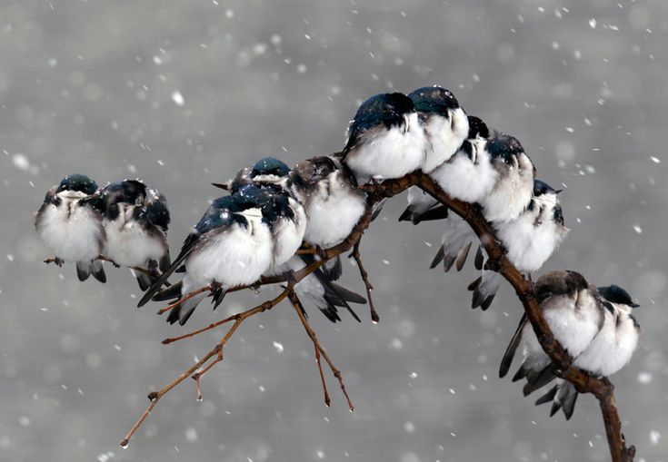 Birds perched on a branch during a spring snowstorm in Pembroke, N.Y. (David Duprey/Associated Press)#