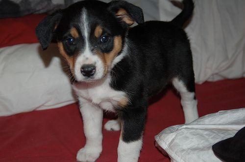 adorable border collie, australian shepherd, beagle mix