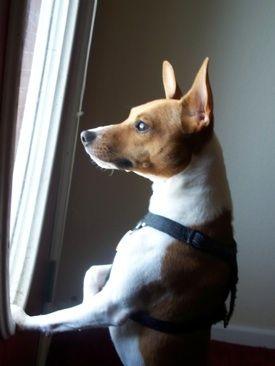 Jack-Rat Terrier, Jack-Rat Terriers, Jack Rat Terrier Hybrid