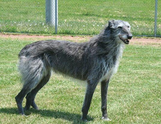 Te hablamos de la raza de perro galgo escocés o deerhound