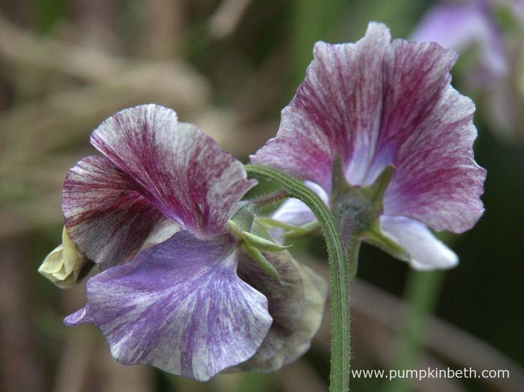 Lathyrus odoratus 'Earl Grey'