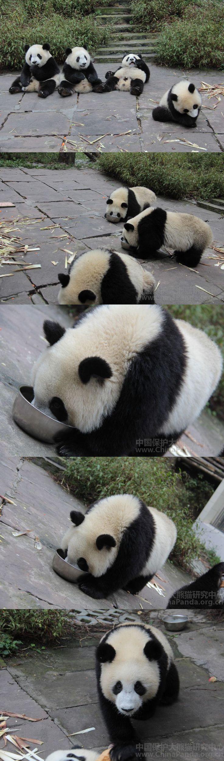Panda's Milk Time :)   #Panda
