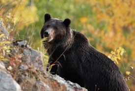 Grizzly bear (Photo by Peter Sulzle) -  What is NCC doing to help protect this species?  Protecting habitat