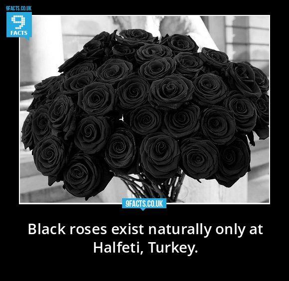 black roses halfeti turkey | Black roses exist naturally only at Halfeti, Turkey. | 9facts.co.uk