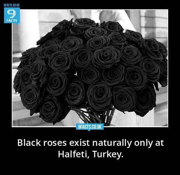 Are There Natural Black Roses