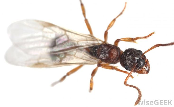 How to kill Flying ants and get rid of them - http://www.pestremovalguide.com/flying-ants/