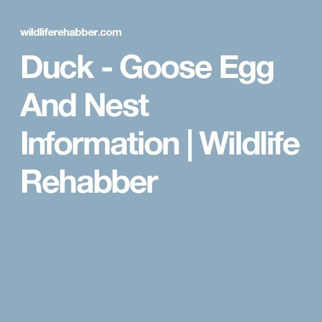 Duck - Goose Egg And Nest Information | Wildlife Rehabber