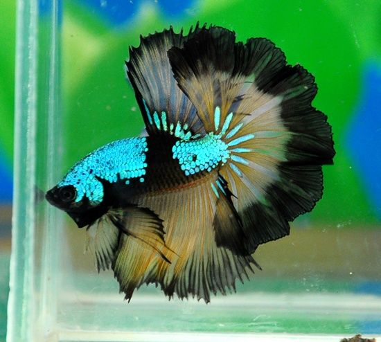 Can Betta Fish Live In Food Colored Water