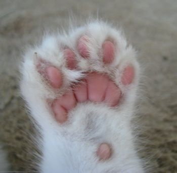 Polydactyl Cats The Felines With Extra Toes.