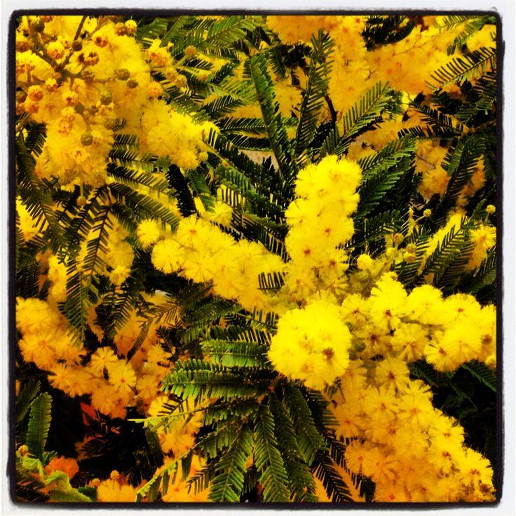 Mimosa festa della donna 8marzo