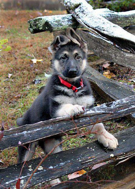 German Shepard  #http://tinyurl.com/boj2yth Train your dogs in 3 days!