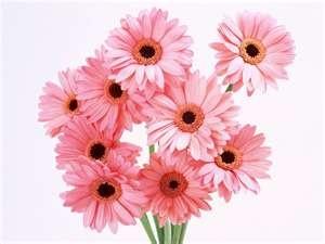 Gerber Daisys, my favorite!