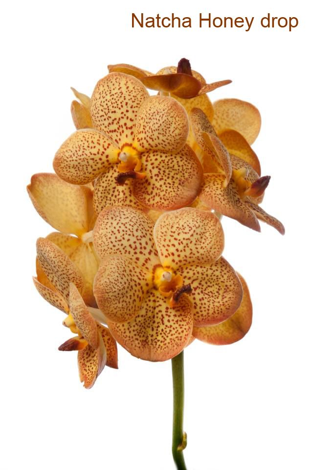 Vanda Natcha honey drop