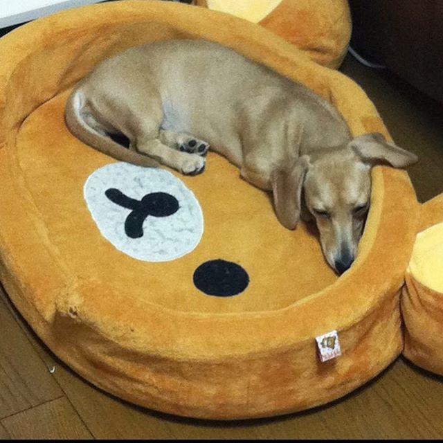 やっぱり縁に沿って寝るのが好きみたい #dachshund #dachshundpuppy  #miniaturedachshund#love #puppy #dog  #chloe #smoothcoat #cream #犬 #愛犬 #猟犬 #アナグマ猟 #胴長 #短足 #ダックスフンド #ダックス #スムースコート #ダックスフンドスムースコート #ダックスフンドクリーム #ミニチュアダックス #ミニチュアダックスフンド#カワイイ #かわいい #クロエ  #love