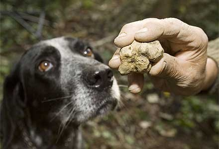 Tartufo bianco with hunting dog