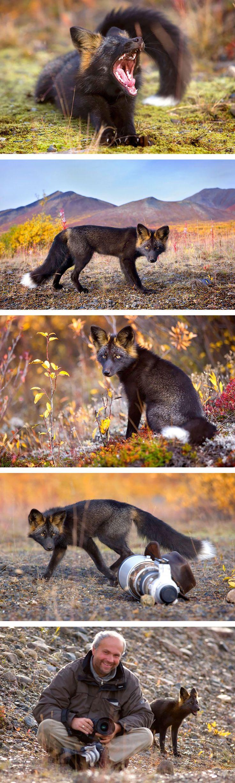La beauté rare des renards noirs et argentés  2Tout2Rien