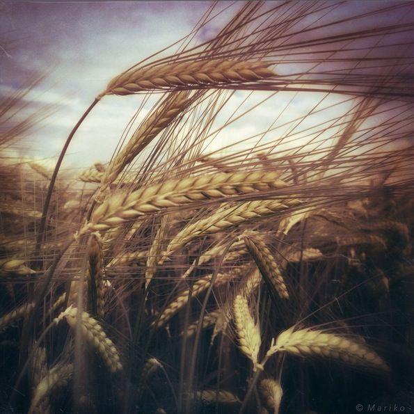 Barley © Mariko Klug