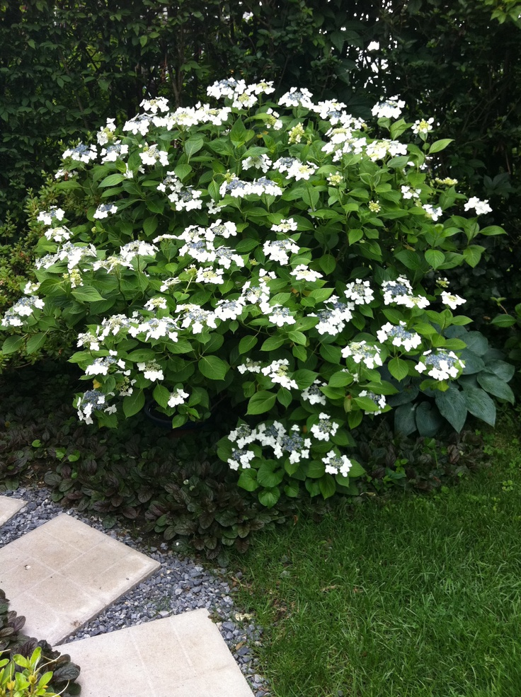 Larneth White Lace Cap Hydrangea Garden Plants