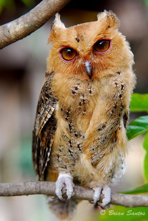 """Philippine Scops Owl,  common small owl, endemic to Philippines. Hooting call  sounds like """"oik, oik, oik""""              Photo by Brian Santos"""