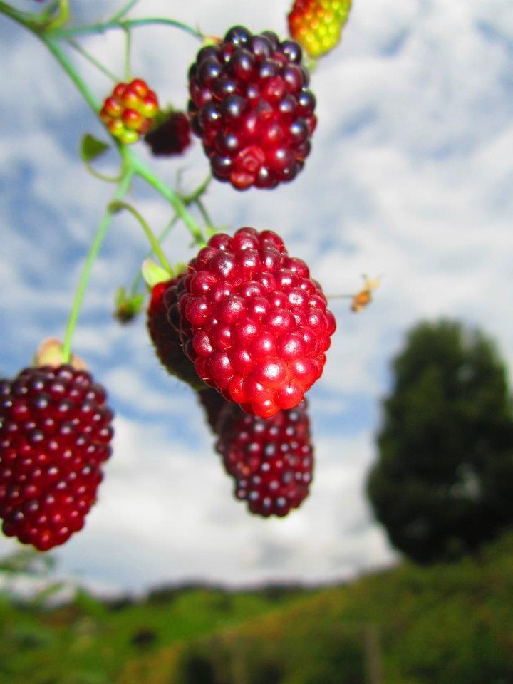 Cultivo de Moras el Jardín de Fercho - Yarumal