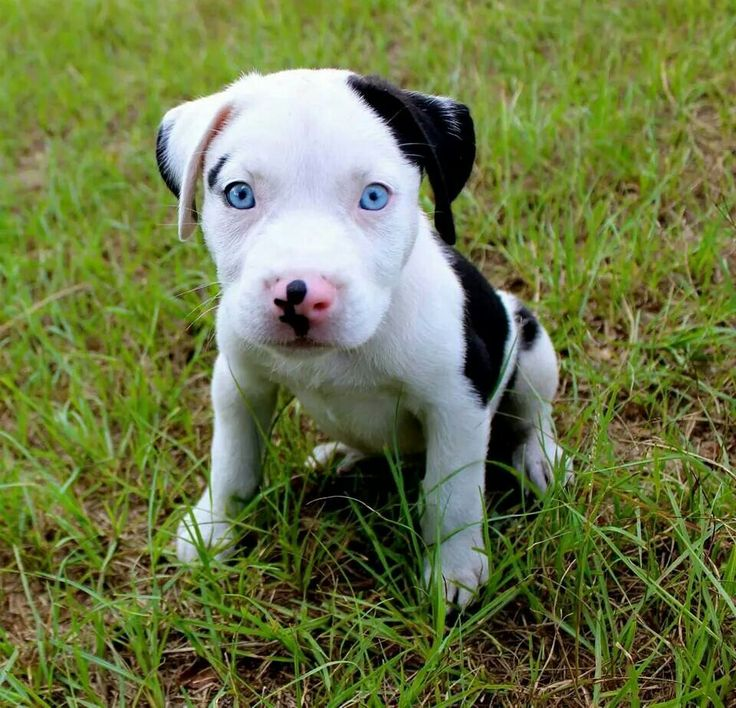 American Pit Bull puppy with blue eyes via Facebook