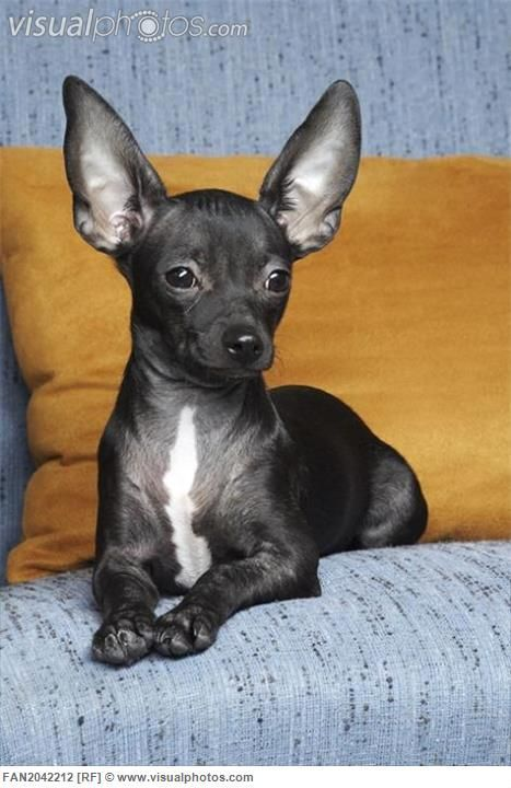 best 25 black chihuahua ideas on pinterest long haired