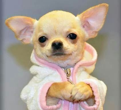 All dressed up Chihuahua ♥ Yuppypup.co.uk provides the fashion conscious with stylish clothes for their dogs. Luxury dog clothes and latest season trends, Dog Carriers and Doggy Bling. Next Day Delivery. Please go to http://www.yuppypup.co.uk/
