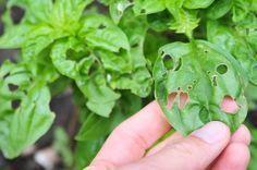 Homemade Organic Pesticide for Vegetables