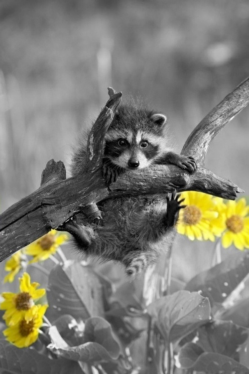 Raccoon keep holding on splash of color photography yellow