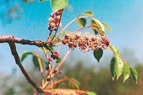 Sclerocarya Birrea    male flower      Marula        Maroela         S A no 360