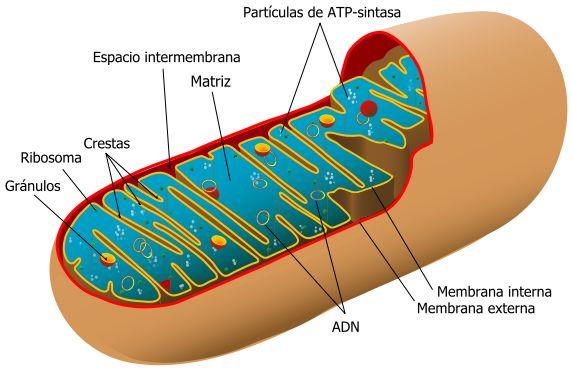 """Estructura de una mitocondria. Rebecca Cann, al rescate de la """"Eva mitocondrial"""" en el túnel del tiempo"""