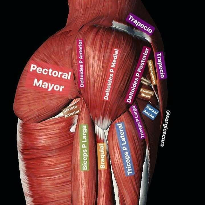 Mejores 180 imágenes de Fisiologia y/o Anatomía en Pinterest ...