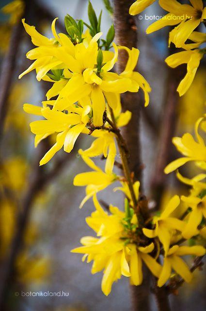 A kora tavasz egyik legnépszerűbb és legelterjedtebb cserjéje, mely még a rügyfakadás előtt, áprilisban hozza 4 cimpájú aranysárga virágainak tömegét, mely szinte beragyogja az akkor még jórészt kopár kerteket.