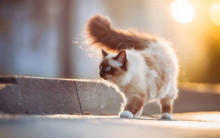 Download wallpapers Burmese cat, cute animals, pets, cats
