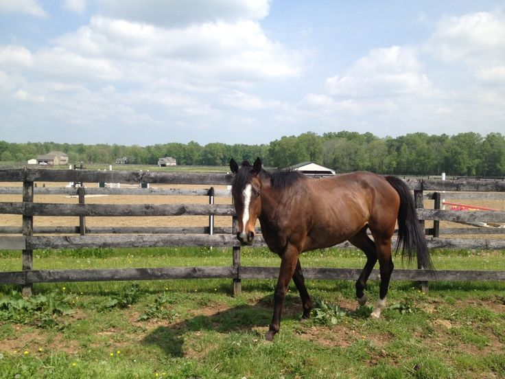 Lilly - Virginia Rescue Horse--Bay, Mare, 2011, Thoroughbred, 16.2h Rider Level: Intermediate or higher Adoption Fee: $1,300. She is riding sound now and can be ridden by intermediate or better riders. She has a good personality and would do well as a trail horse or even for some lower level hunter under saddle classes. Lilly has been ridden over ground poles and small cross rail fences (18″ and under).