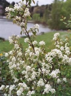 Service berry Amelanchier alnifolia. up to 15 feet. moist or dry soil, spring apr-may white flowers, full sun to part sun. edible and sweet berries.