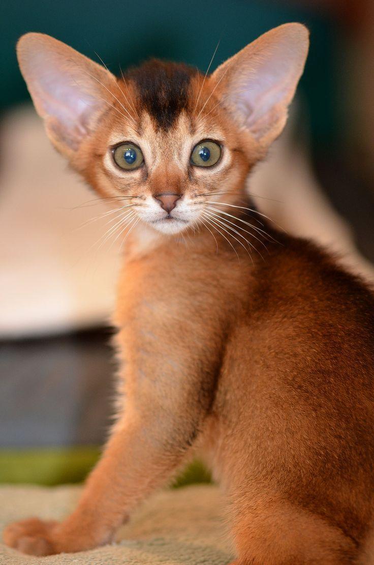 7209 best Egyptian Mau Cat images on Pinterest | Egyptian mau ...
