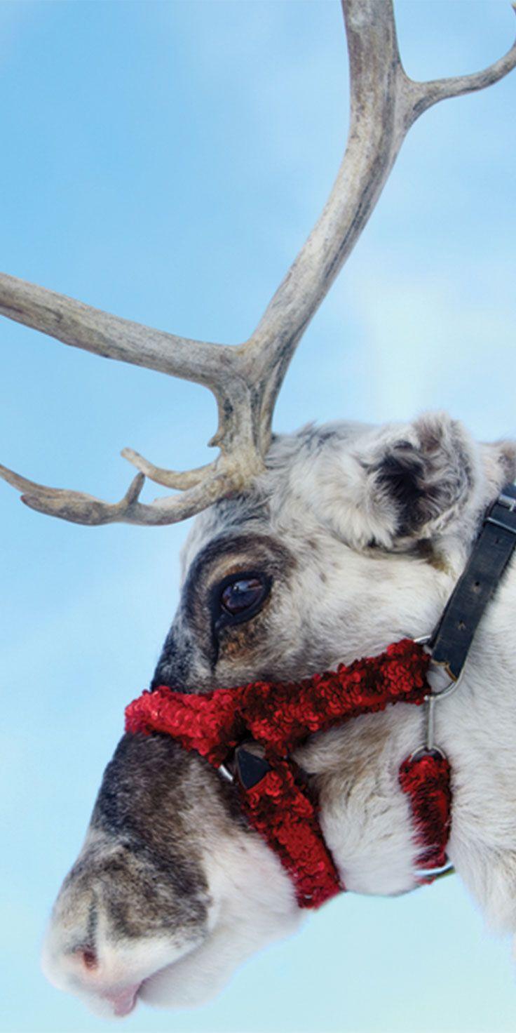 Reindeer feeling Christmas-ready in Lapland, Finland.