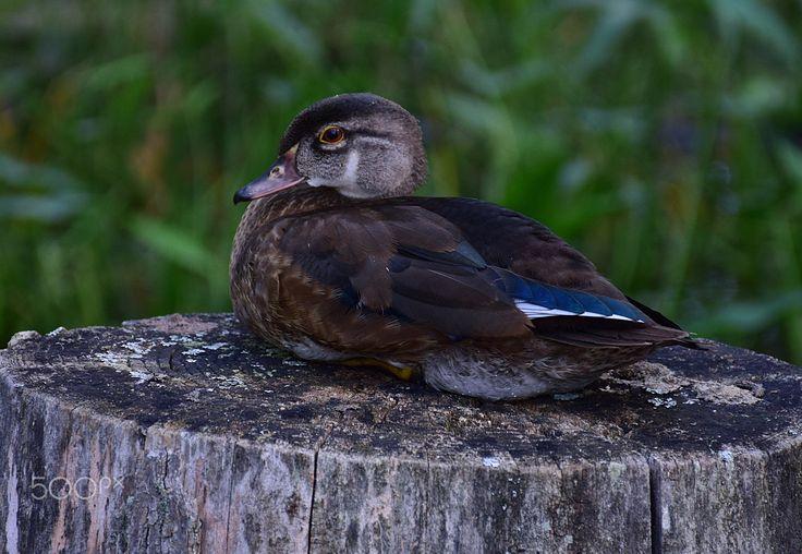 Mallard duck - Mallard duck resting.