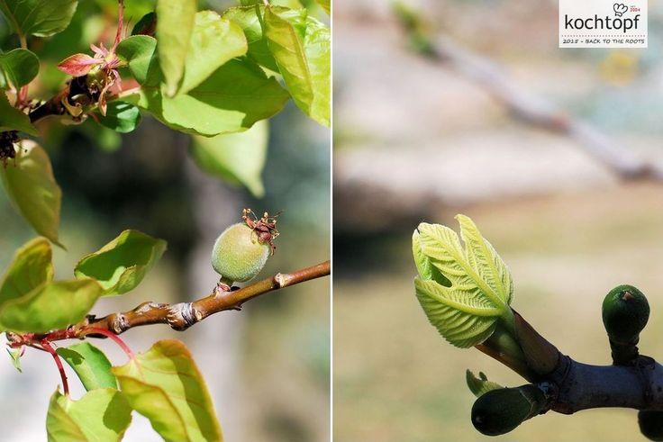 Die letzten Tagen hatten wir wirklich frühlingshafte Tage mit Temperaturen bis über 20 C. Das gefällt der Natur und sie gibt Gas!Die Aprikosen sind schon etwa 1 cm gross und gestern haben sich die ersten Blätter beim Feigenbaum geöffnet.Aber auch im...