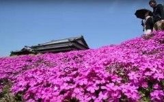 It started out as a loving gesture from a husband to make his blind wife smile again - but became a major tourist attraction.Japan may be famous for its cherry blossom at this time of year, but in Miyazaki Prefecture people flock to see a different floral spectacle - mainly because of the love story