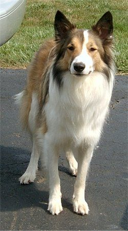 Scotch collie. This is perfect! It's not as fluffy as a rough collie but still has longer fur than a smooth collie