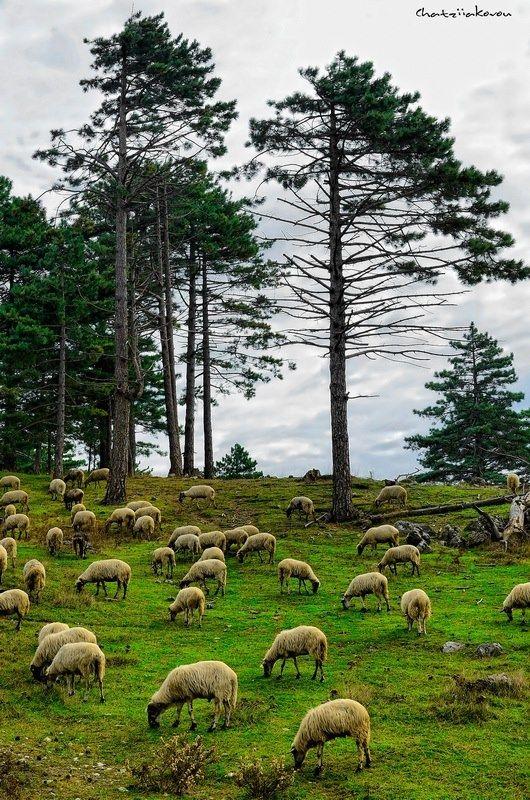 Samos, Greece, Lambs *