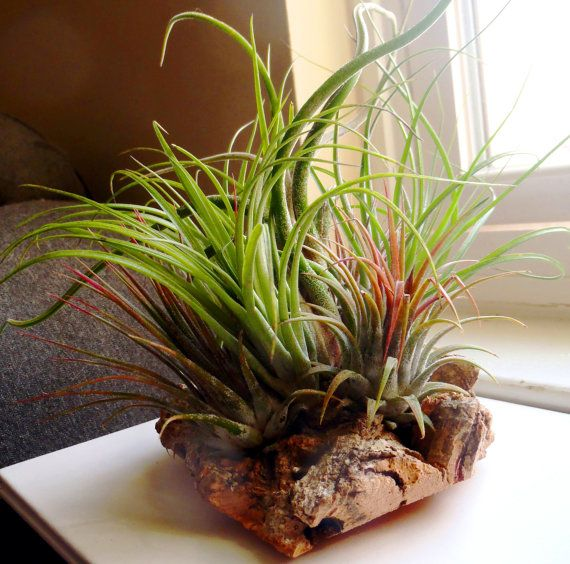 This is the way tillandsias grow in their natural environment, attaching themselves to the porous bark of trees and absorbing moisture from the tropical air. I have carefully mounted seven tillandsias to an interesting piece of cork. A tall caput medusae spirals out of the center, surrounded by three green strictas and three ionantha coneheads in an alternating pattern. Virgin cork bark is a lightweight, sustainable, renewable, and environmentally friendly natural resource. Cork bark is…