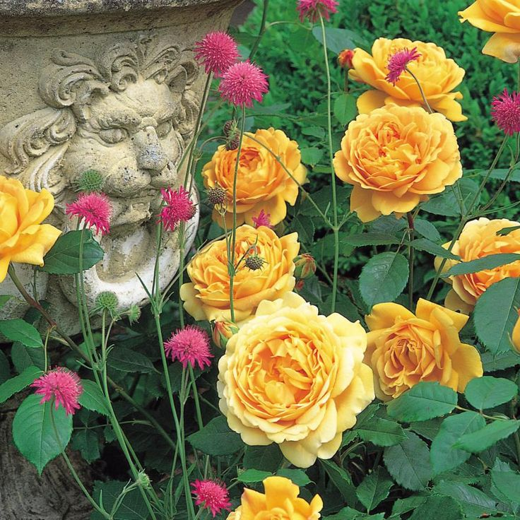 Golden Celebration   Fragrant English Roses   English Roses   Bred By David  Austin