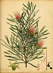 Image result for mountain devil plant