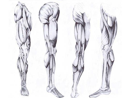 Disegno Anatomico Gamba  Stampa d'arte dall'originale