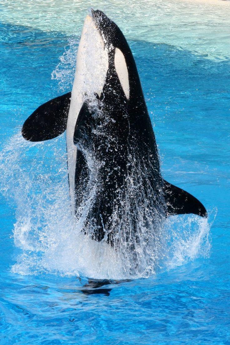 Killer Whale @sea World Photo by Kathleen Intile