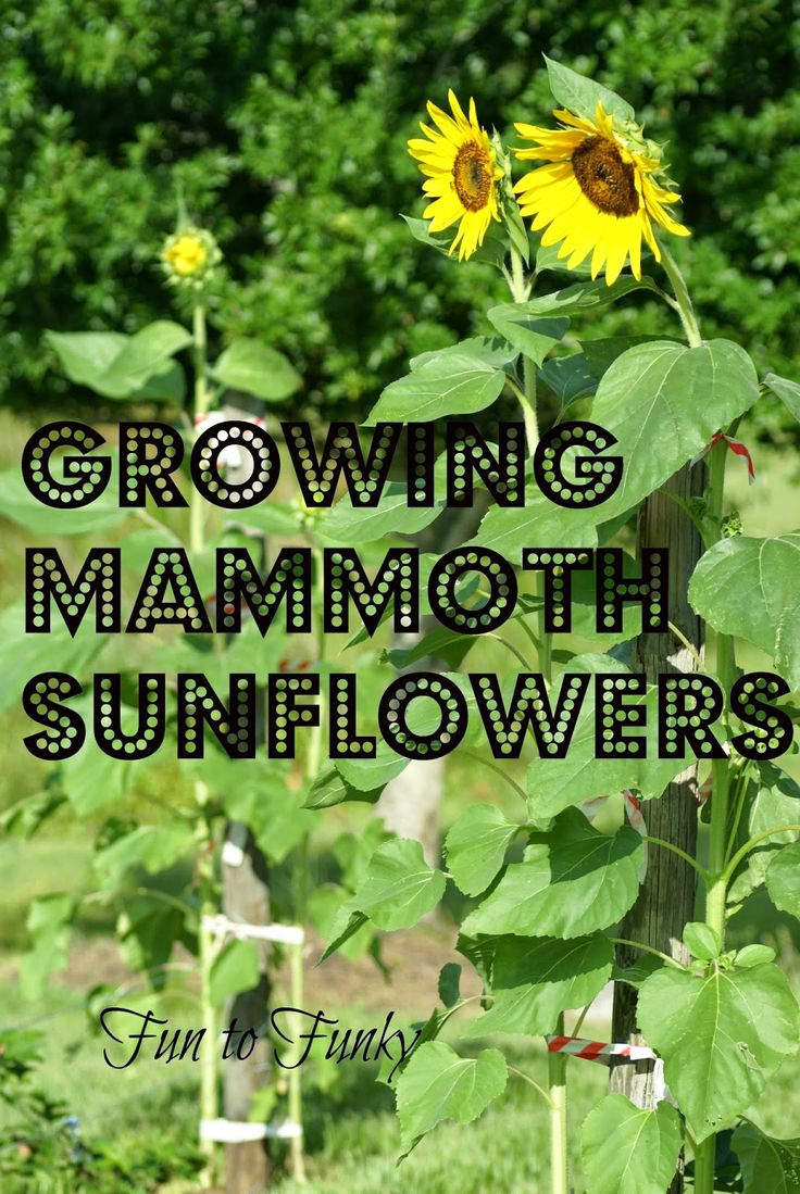 Fun To Funky Mammoth Sunflowers My Tips Flower Gardeningflowers