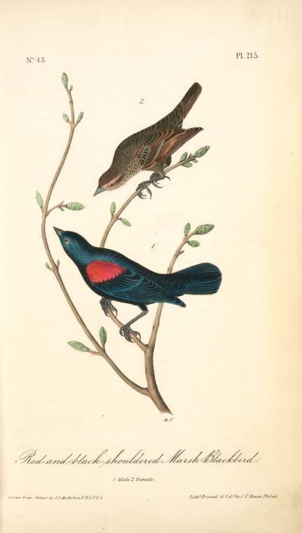 El Paso, Red-and-black-shouldered Marsh-Blackbird. 1. Male. 2. Female.